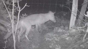 A fox at the end of the garden.