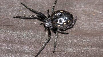 Walnut orb-web spider.