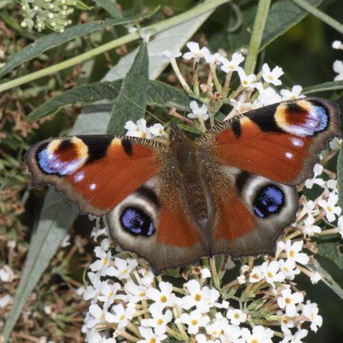 DSC_8903 Peacock on white buddleja EC