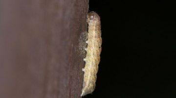 1 Angle Shades caterpillar on woodshed