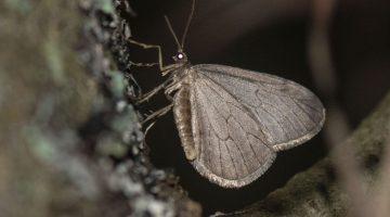 1 DSC_7487 cf winter moth EC C ----