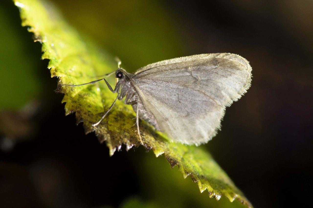 10 Winter moth by torchlight