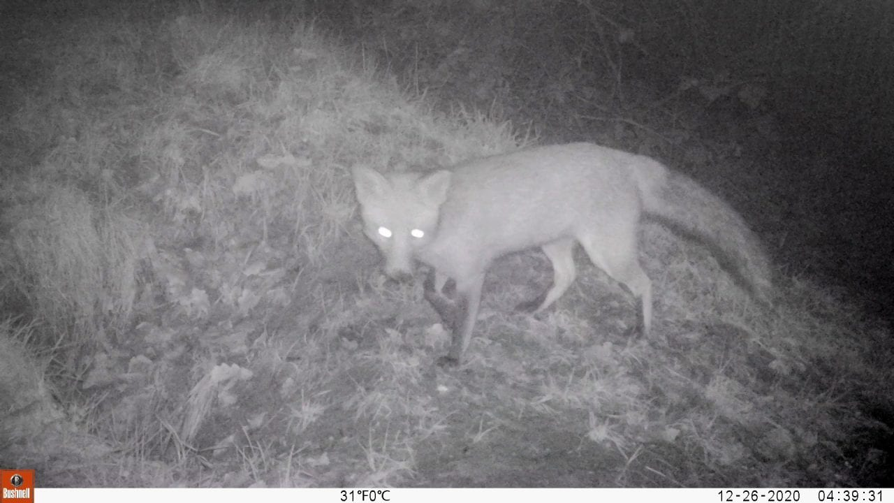 12260012_Moment Boxing Day fox E