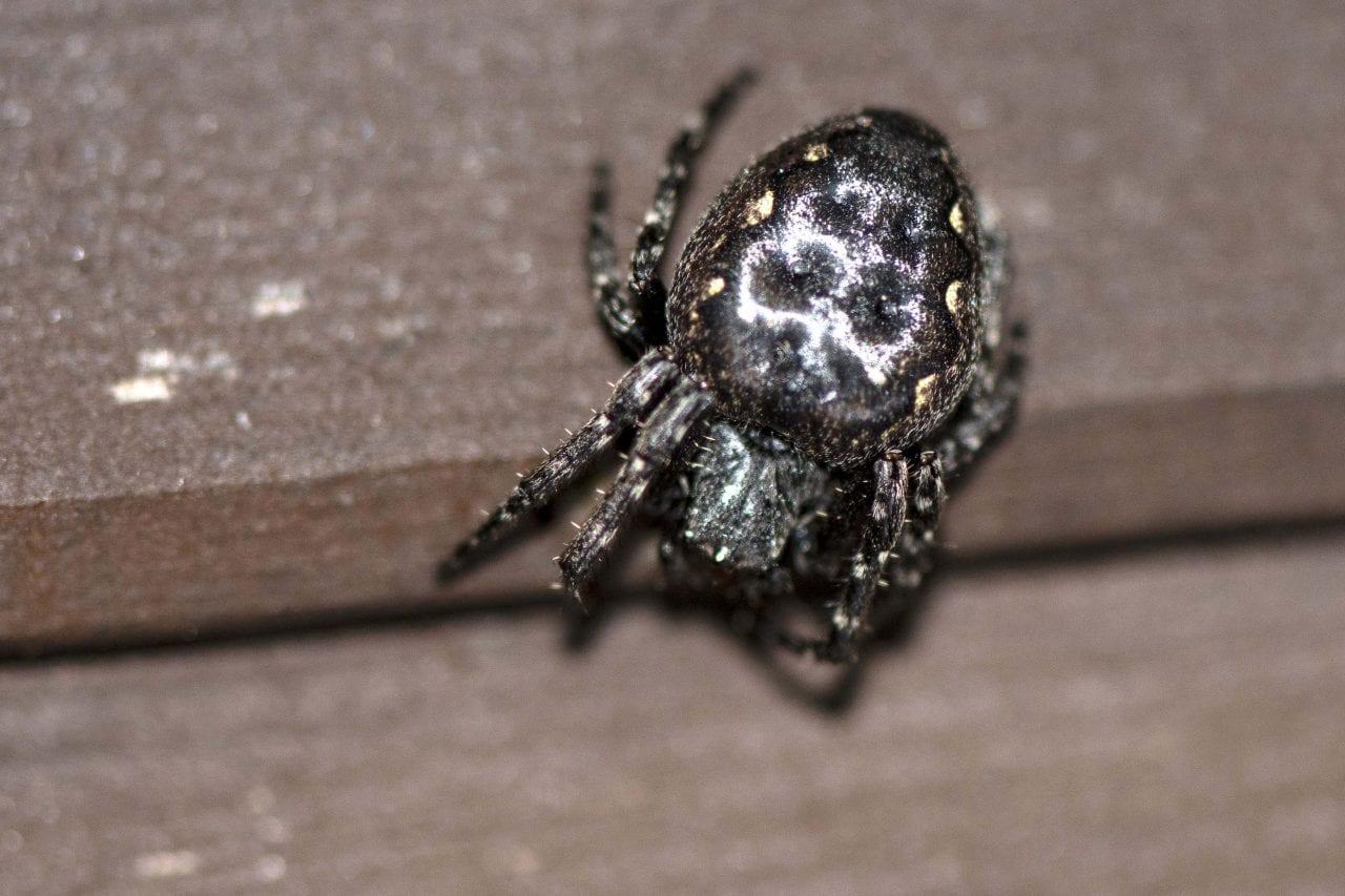 2 Walnut Orb-Weaver Spider