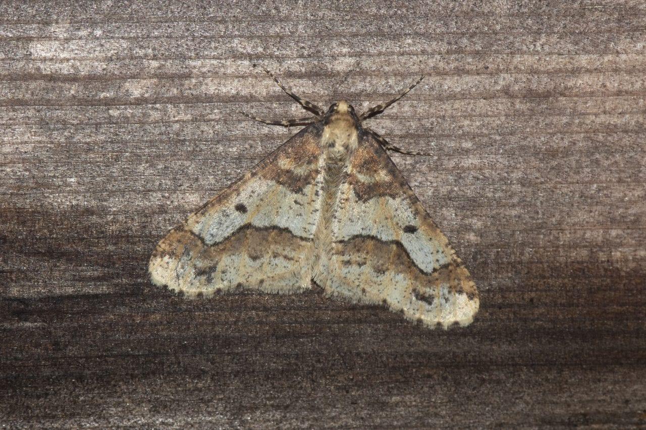 3 DSC_7019 Mottled Umber (Erannis defoliaria) EC