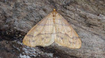 4 DSC_7029 Scarce Umber (Agriopis aurantiaria) EC