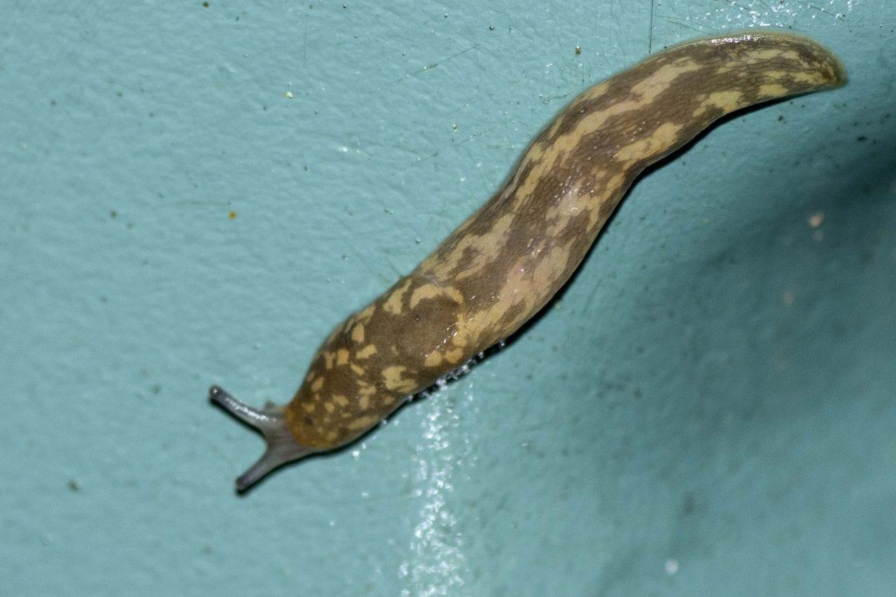6 Leopard slug on water but