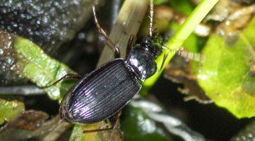7 Ground beetle on deck