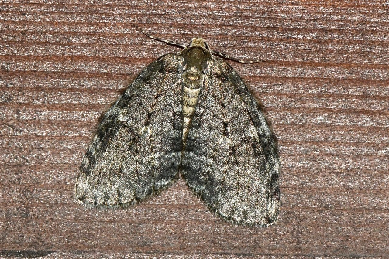 8 DSC_6789 November moth ECC -