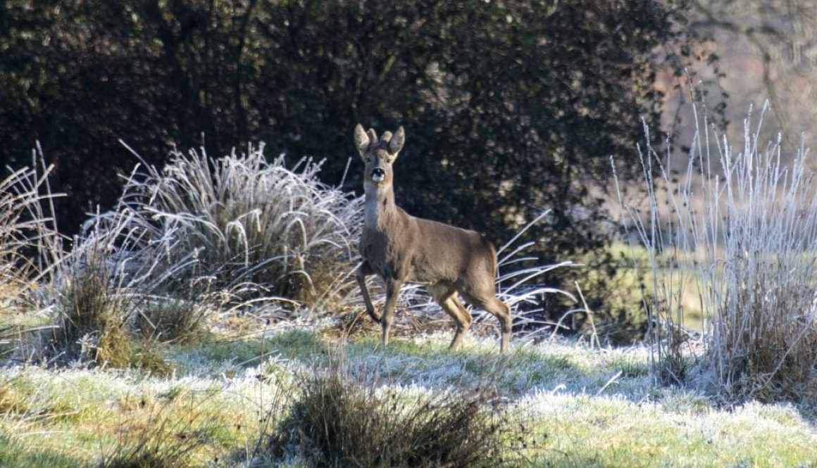 Roe Buck In Frost
