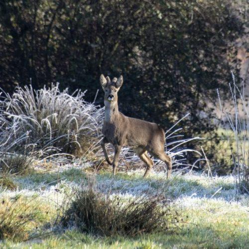 Roe Buck In Frost