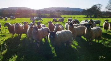 IMG_20201224_121929 Xmas Eve sheep EC