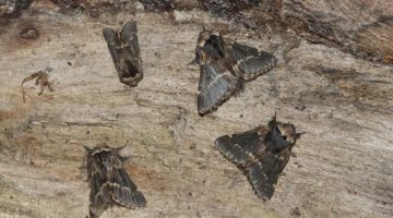 rsz_2_dsc_7069_four_december_moths_ec