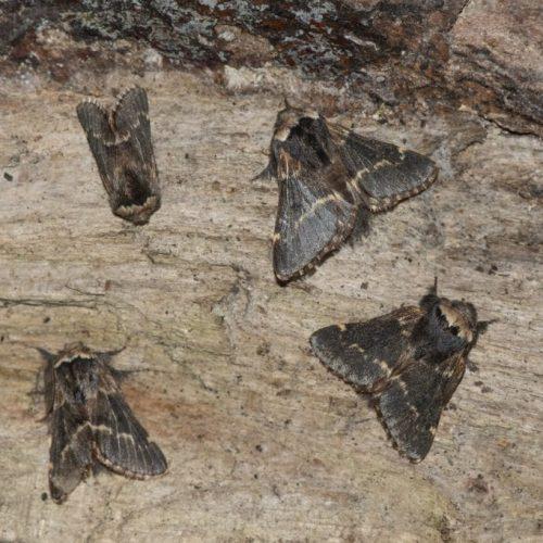 rsz_2_dsc_7069_four_december_moths_ec
