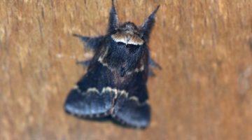 1 ! DSC_8728 December moth 13Jan2021 EC Reduced