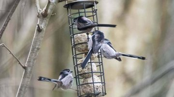 2 ! DSC_8593 Four l-tailed tits EC Re-Reduced