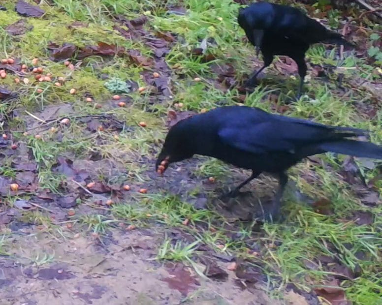 4 ! 01190289 Crows feed on peanuts -_Moment EC --