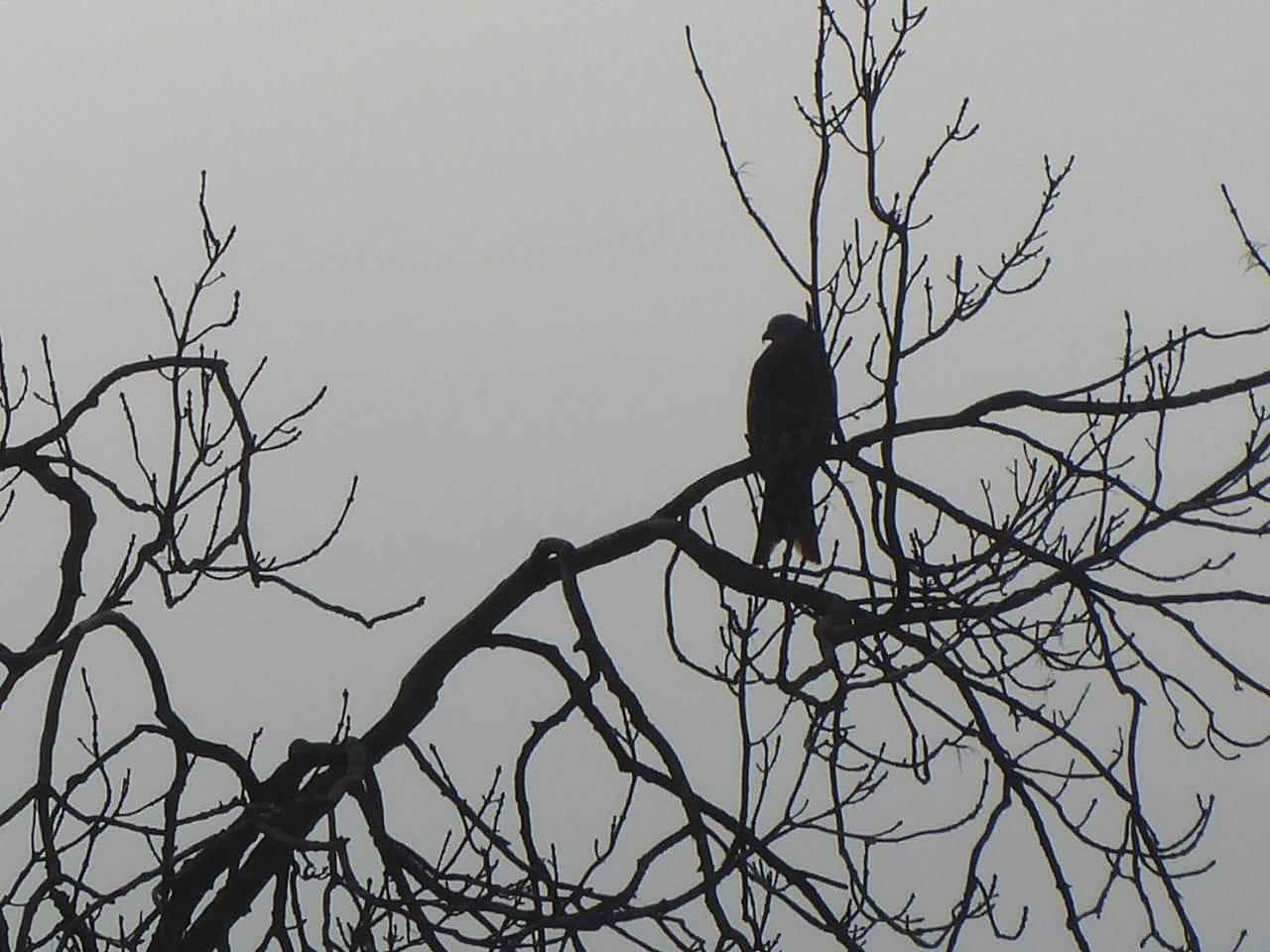 4 P1010464 Red kite in tree EC