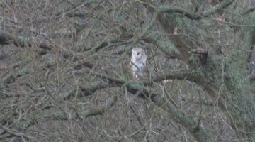 5 DSC_8252 Barn owl in tree EC
