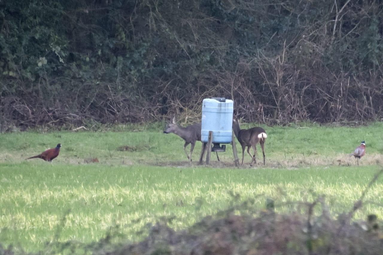 6 DSC_8249 Two of four roe deer at phsnt feeder EC