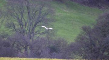 6 ! DSC_8838 Barn owl distant EC Reduced
