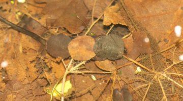 ! 10 DSC_9811 Three leaf caddis and head EC
