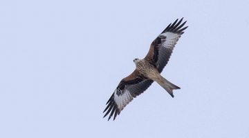 ! 10 Reduced DSC_9119 Red kite EC
