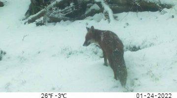 ! 5 Reduced 01240025 Fox at lwr sett in falling snow -- Photoshop still from vid EC