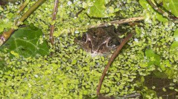 ! 9 DSC_9786 Frog in pond EC