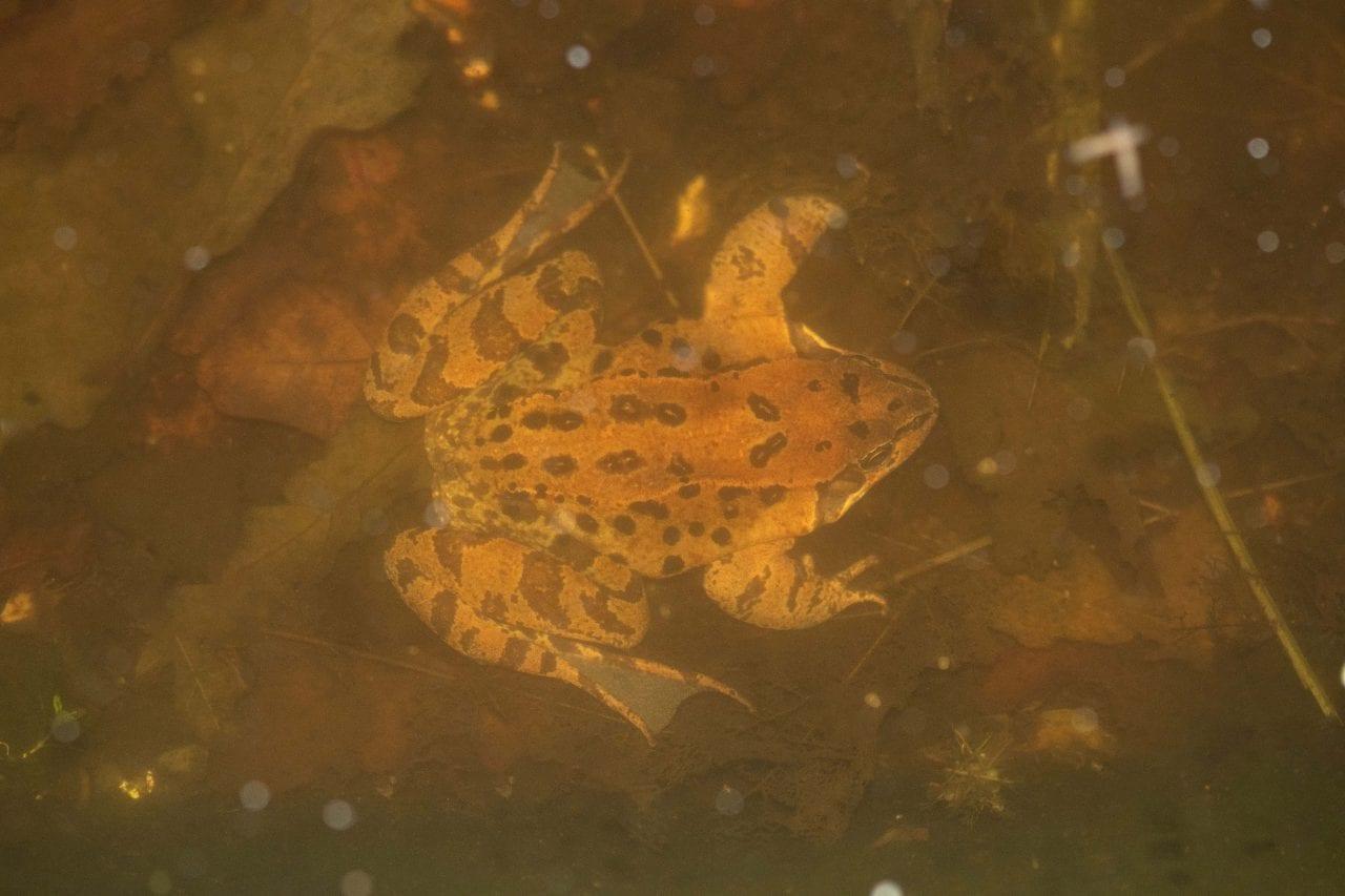 2 DSC_1846 Frog underwater in pond E for blog