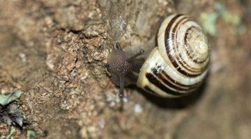 3 DSC_1034 Banded snail EC