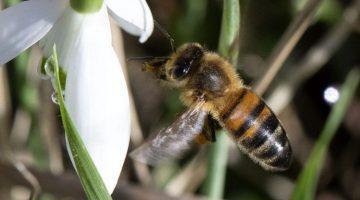 5 DSC_1147 Honey bee approaches snowdrop ECC