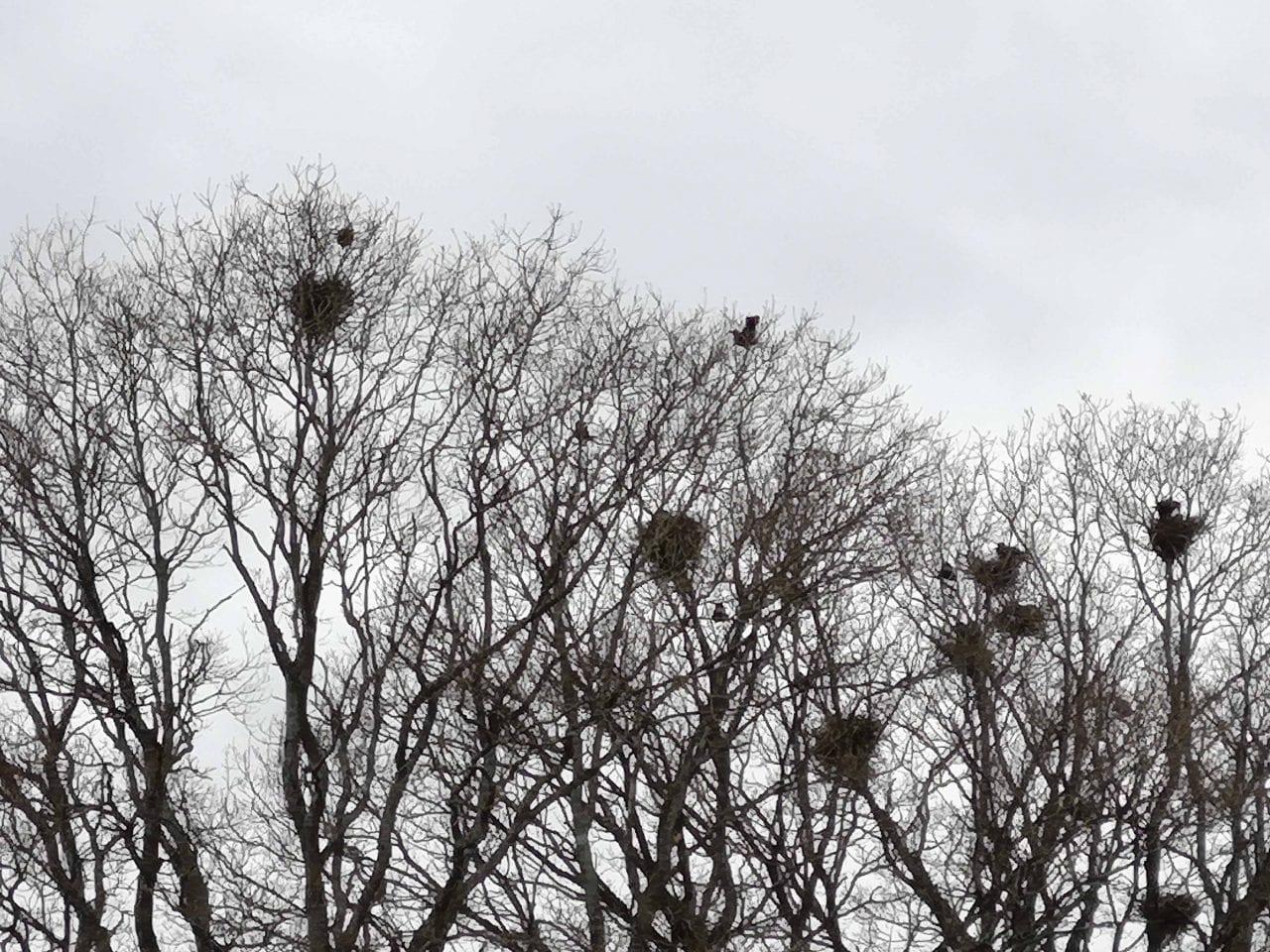 5 IMG_20210311_125345 Rook nesting Reduced
