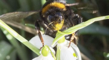 6 DSC_1159 bumble bee at snowdrop ECC
