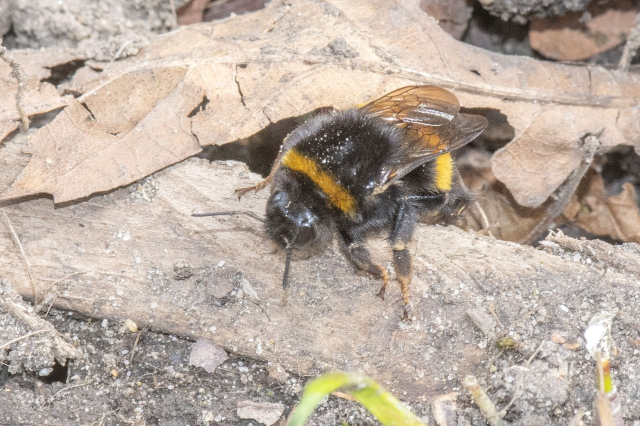 6 DSC_1946 Buff-tailed bumble bee EC