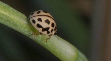 7 DSC_1189 16-spot ladybird ECC