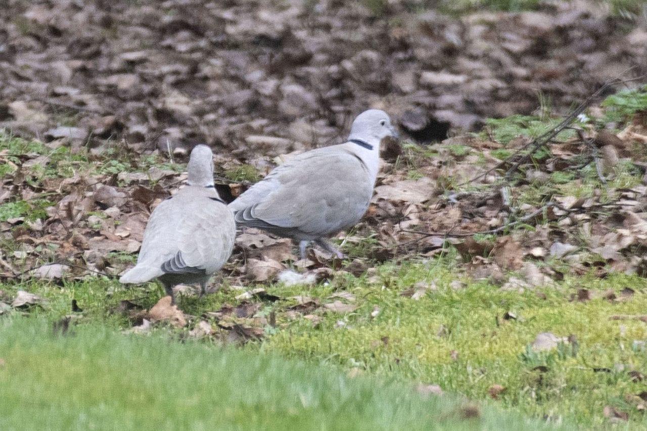 7 DSC_1700 Two collard doves ECC for blog