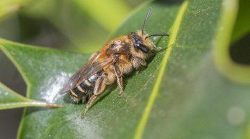 1 DSC_3086 Andrena dorsata (Short-fringed Mining Bee) EC