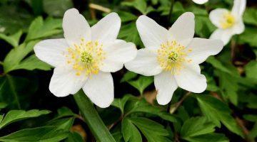 1 IMG_20210315_141917 Wood anemones EC Reduced