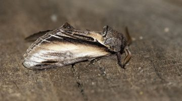 10 DSC_6658 Swallow Prominent (Pheosia tremula) EC side view
