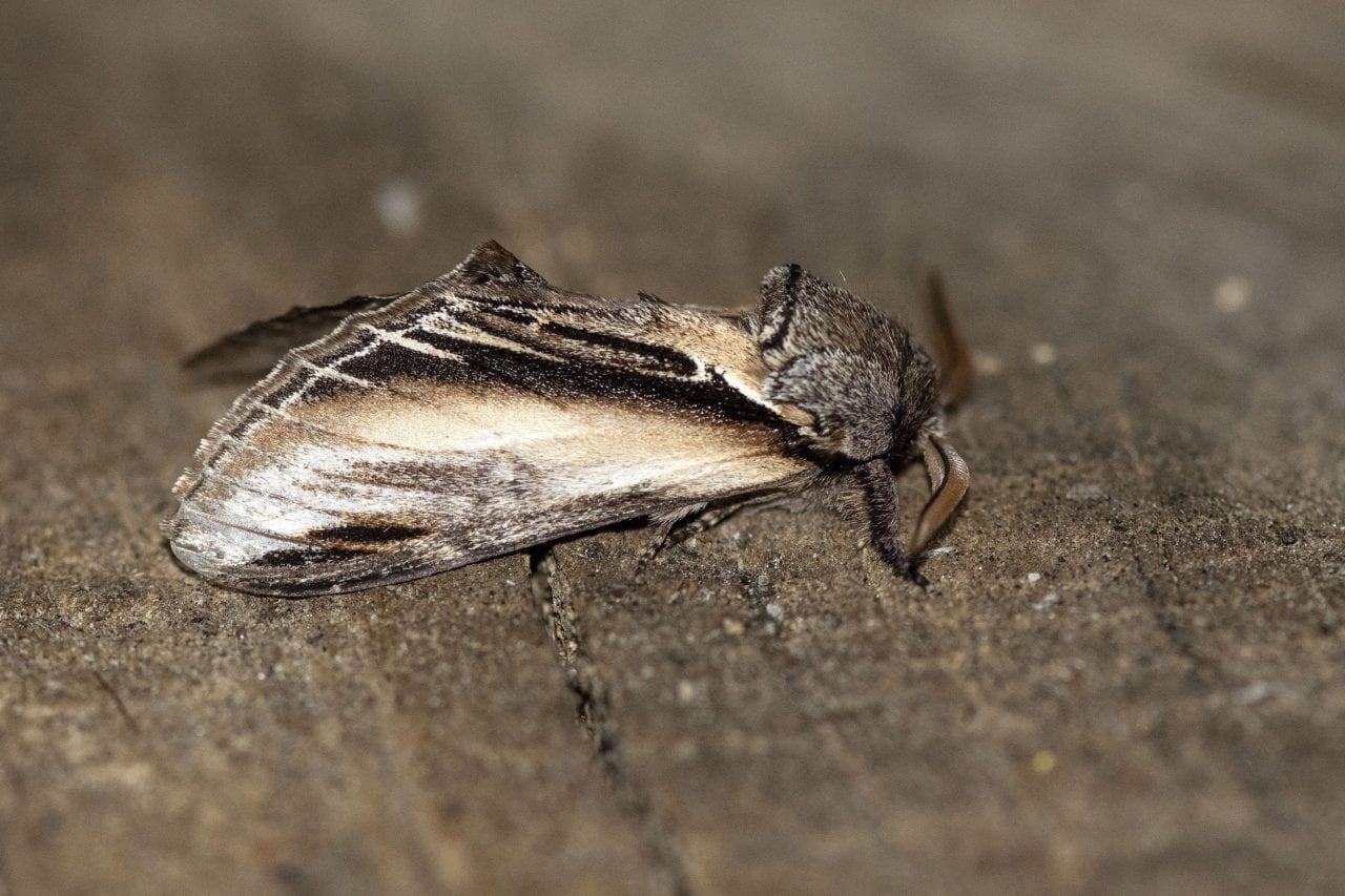 10 DSC_6658 Swallow Prominent (Pheosia tremula) EC side view