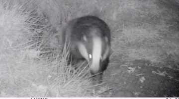 2 04230051 Badger lwr sett still from vid EC