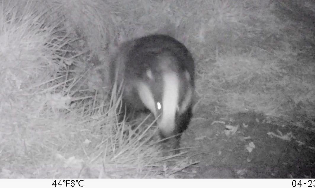 2 04230051 Badger lwr sett still from vid EC