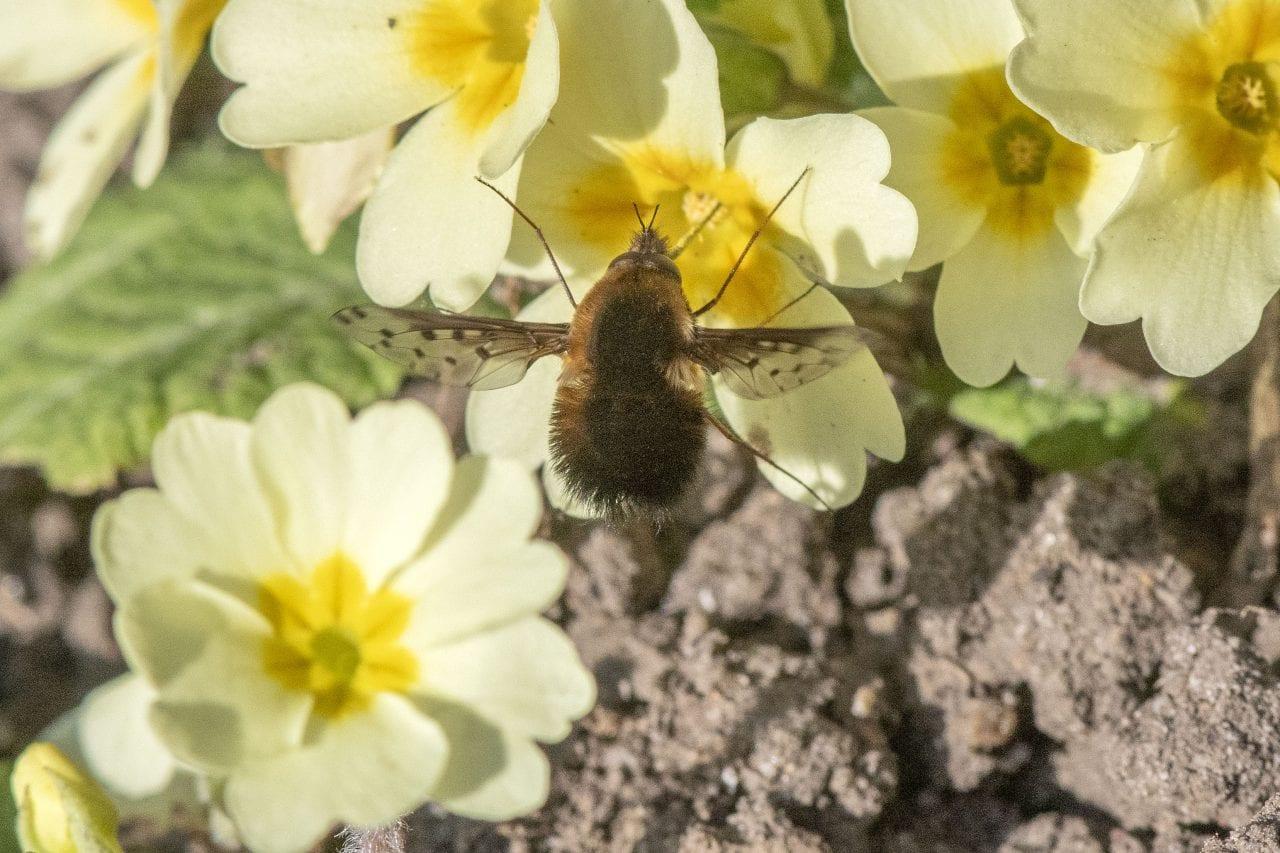 2 DSC_3243 Dotted beefly male EC ---