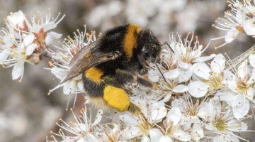 2 DSC_5269 Buff-tailed bumble bee on blackthorn ID Matt Mith EC