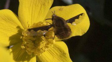 3 DSC_3476 Dark-edged bee-fly ECC Reduced