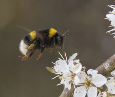 3 DSC_5304 White-tailed bumble bee hovers over blackthn EC