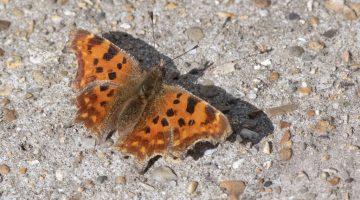 4 DSC_3453 Comma butterfly EC reduced