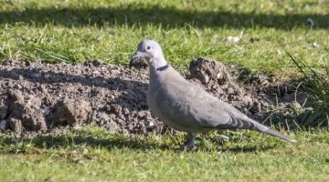 5 DSC_6724 Collared dove EC