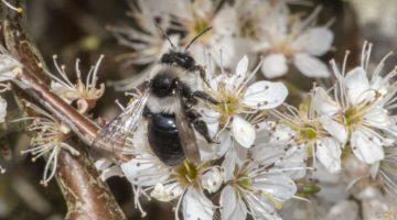 7 DSC_5266 Andrena cineraria EC
